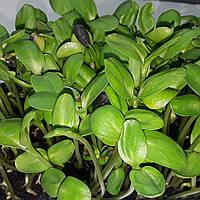 Микрозелень растущая, ПОДСОЛНУХ
