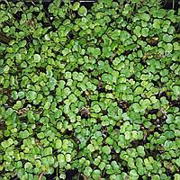 Микрозелень растущая, РУККОЛА