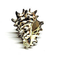 Раковина Vasum turbinellus (улитка пагода) малая