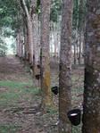 Дерево Гевея и мебель из него
