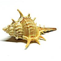 Раковина Murex Tribulus малая