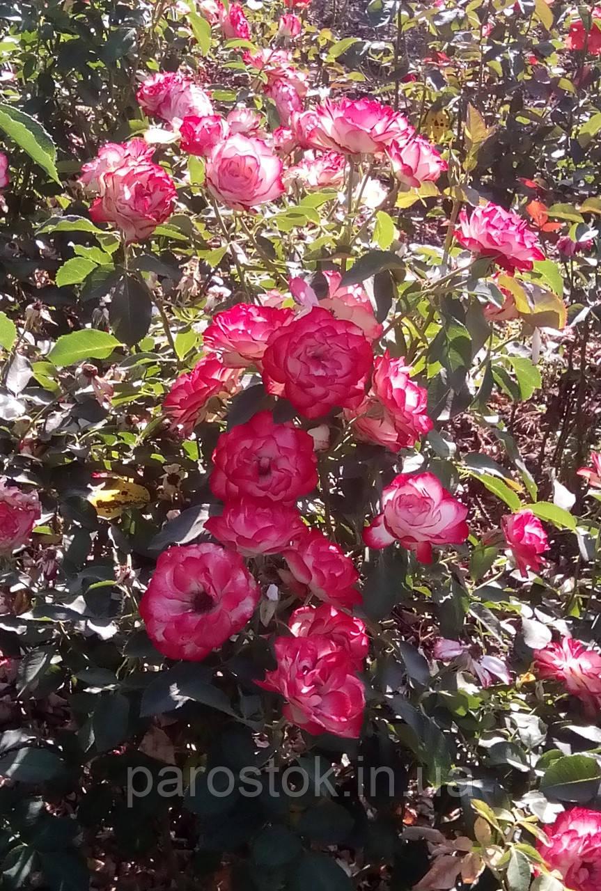 Роза Юбилей Принца Монако. (вс). Флорибунда