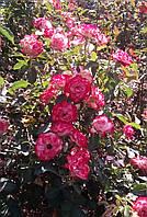 Роза Юбилей Принца Монако. (вс). Флорибунда, фото 1