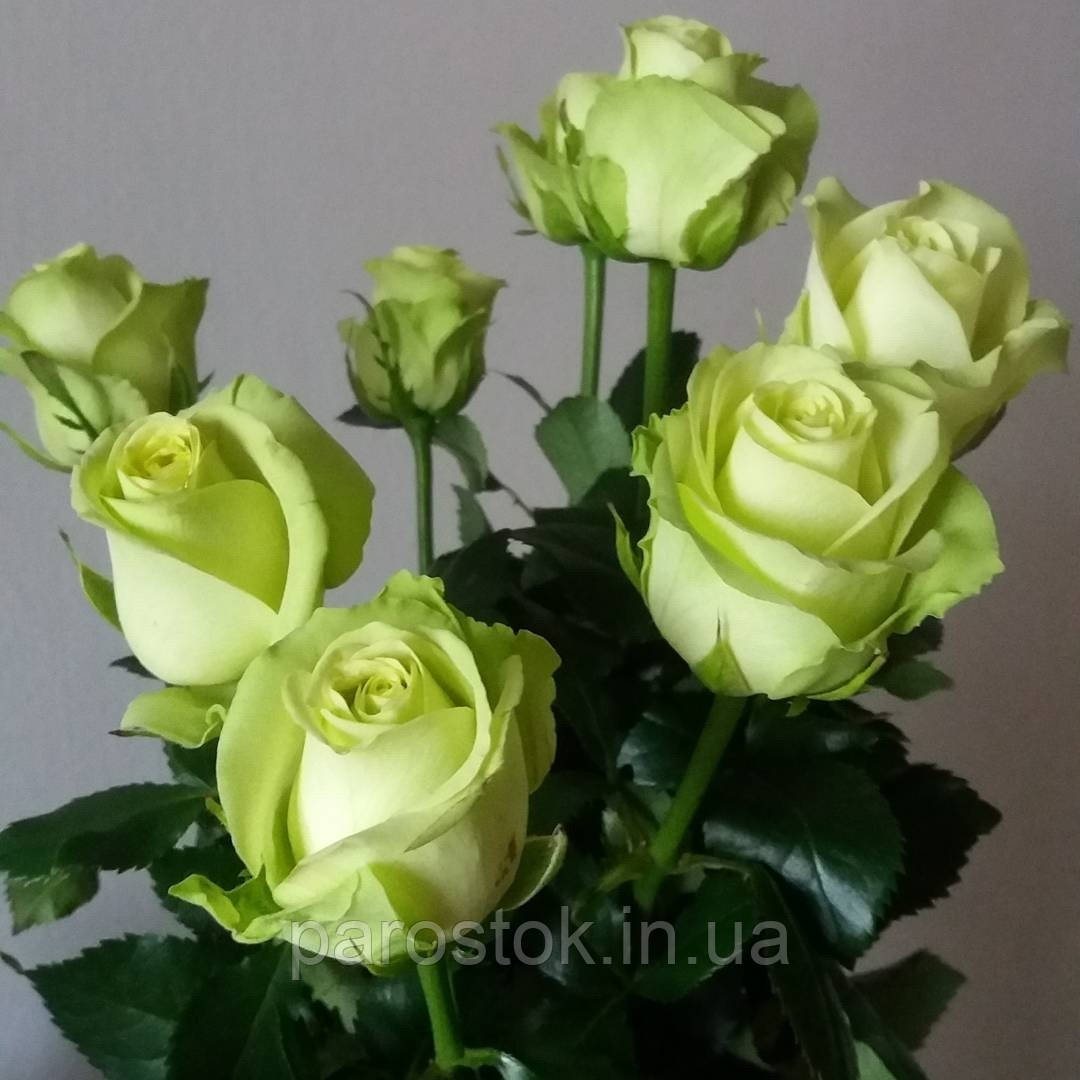 Роза Грин Ти.
