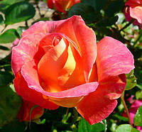 Роза Декор Арлекин. Шраб, фото 1