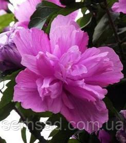 Гибискус сирийский Арденс \ Hibiscus syriacus 'Ardens' ( саженцы 2 года)