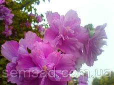 Гибискус сирийский Арденс \ Hibiscus syriacus 'Ardens' ( саженцы 2 года), фото 2