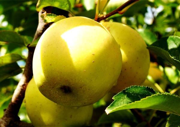 Яблоня Голден Делишес, фото 2