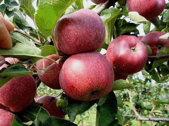 Саженцы яблони Флорина, фото 2