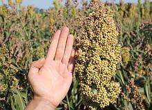 Семена Сорго Зерновое