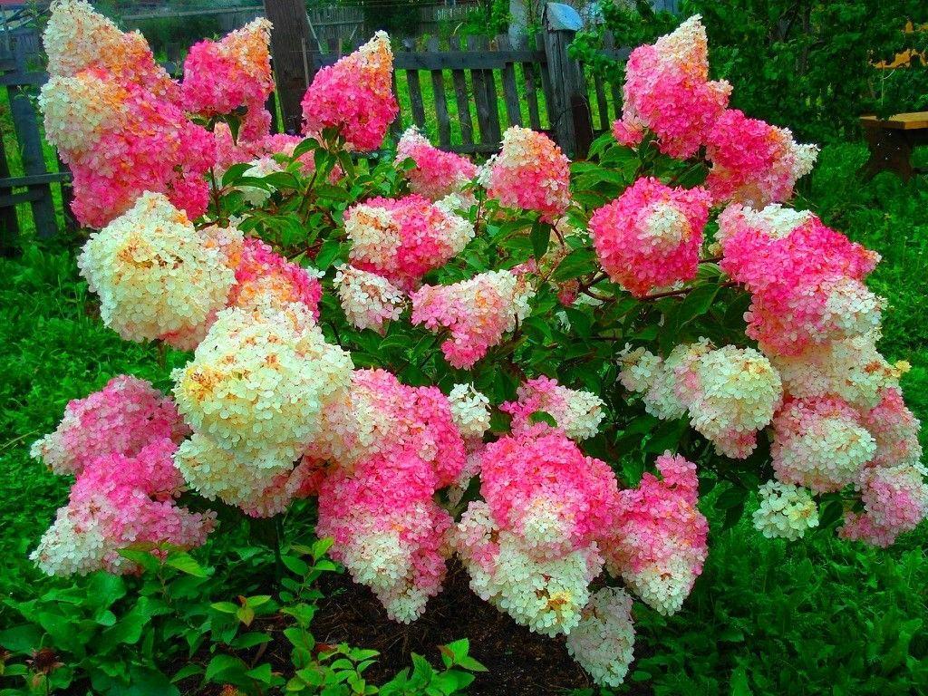 Гортензія морозостійка Vanille Fraise 2 річна, Гортензия метельчатая Ваналла Фрейз, Hydrangea paniculata Renhy