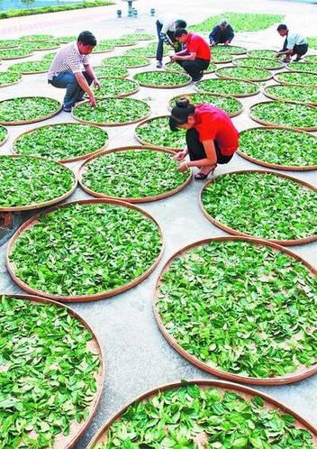 Улун: сбор чайных листьев и подготовка к обработке.