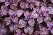 Cемена Базилика 0, 5 кг  сорт Фиолетовый