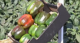 Геркулес F1 семена сладкого перца Clause Франция 5 г, фото 2