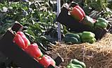 Геркулес F1 семена сладкого перца Clause Франция 5 г, фото 4