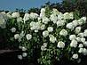 Гортензія морозостійка Phantom 3 річна, Гортензия метельчатая Фантом, Hydrangea paniculata Phantom, фото 4