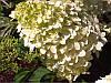 Гортензія морозостійка Phantom 3 річна, Гортензия метельчатая Фантом, Hydrangea paniculata Phantom, фото 6
