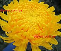 Хризантема крупноцветковая срезочная БРОДВЕЙ