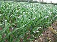 Гибрид кукурузы Оржица ФАО 240, Урожайность кукурузы 11,0-12,0 т/га, Кукуруза Оржица 237 МВ устойчива к засухе, фото 1