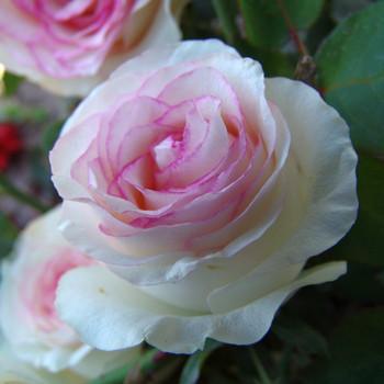 Троянди чайно-гібридна Белла Віта