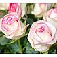 Троянди чайно-гібридна Белла Віта, фото 2