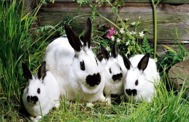 Кролики, индейки, куры, бройлеры, мускусные утки