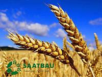 Семена яровой пшеницы Гренни от Саатбау Линц