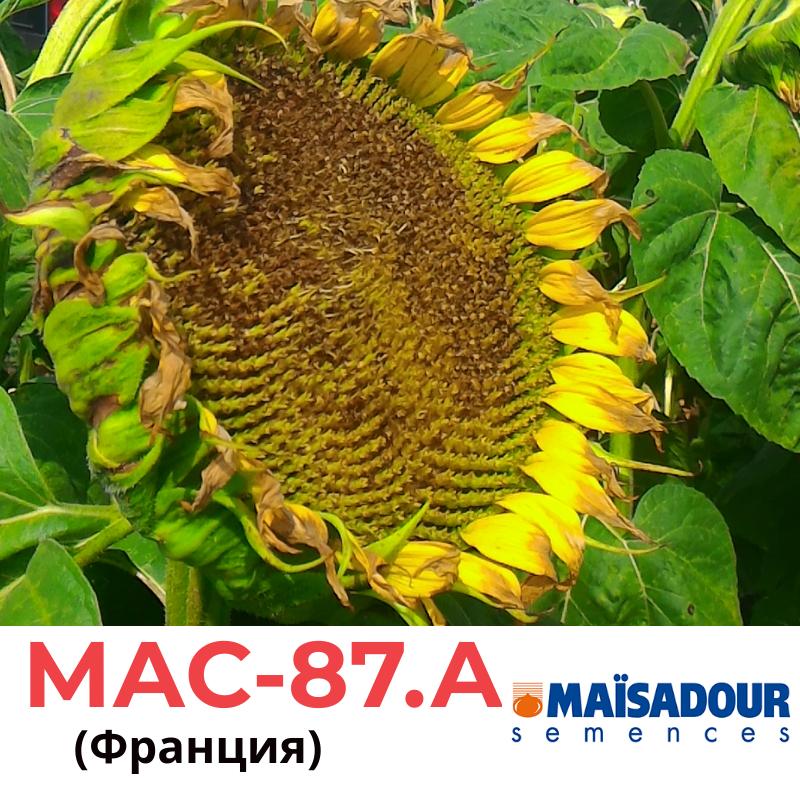 Семена подсолнечника МАС-87.А, Маисадур (Maisadour), Франция