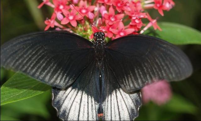 Papilio rumanzovia m