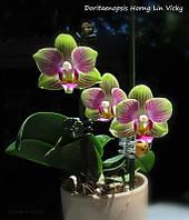 "Подростки орхидеи. Сорт Dtps. Vicky, мини мультифлора, размер 1.7"", фото 1"