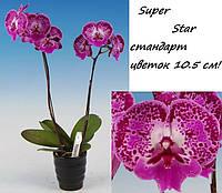 """Подростки орхидеи. Сорт Phal Superstar размер 1.7"""""""