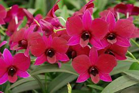 """Подростки орхидеи. Дендробиум Sunny red без цветов, размер 1.7"""""""