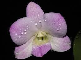 """Подростки орхидеи. Дендробиум New pegasus без цветов, размер 1.7"""""""