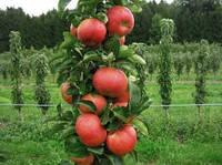 В 2018 г. заложено 608 га молодых яблоневых садов