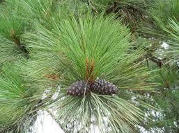 Сосна Пондероза 3 річна, Сосна желтая, Pinus ponderosa, фото 3