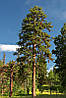Сосна Пондероза 3 річна, Сосна желтая, Pinus ponderosa, фото 6