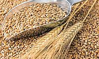 Пшеница органическая для кути и проращивания, 500г