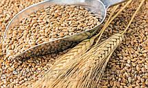 Пшеница органическая для проращивания, 500г
