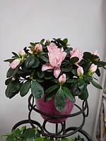 Горшечное растение Азалия