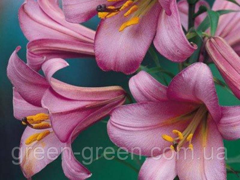 Лилия трубчатая Pink Perfection
