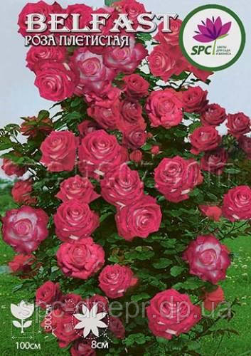 Роза плетистая Belfast