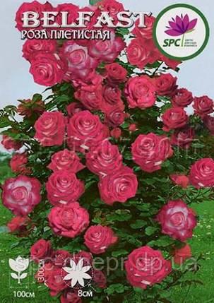 Роза плетистая Belfast, фото 2