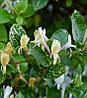 Жимолость японська Aureoreticulata 2 річна, Жимолость японская Ауреоретикулата, Lonicera japonica, фото 2