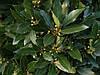 Лавр Благородній 2 річний, Лавр благородный, Laurus nobilis, фото 2