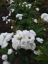 Ватерлоо (Rosa rugosa Waterloo) Шраб