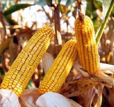 Семена кукурузы Хмельницкий, 25 кг в мешке