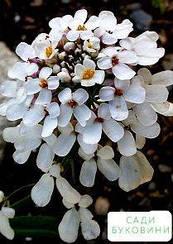 Иберис белый 'Гиацинтоцветковый' (в банке) ТМ 'Весна Органик' 5г
