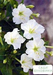 Мирабилис белый (в банке) ТМ 'Весна Органик' 10г