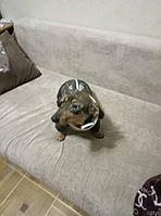 Такса Антонио в зимнем комбинезоне DogsBomba