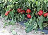 Семена перца сладкого Бихар F1 (250 сем.) ZKI, фото 2